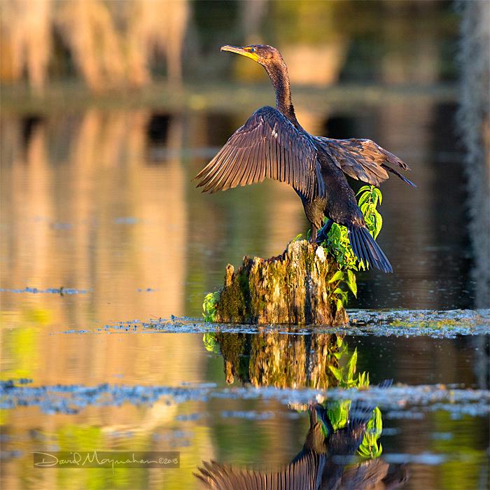 Cormorant Wing-drying