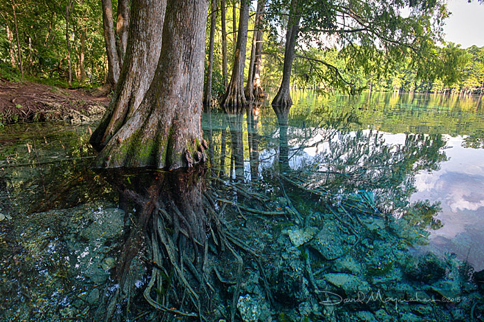 Bluewater Cypress