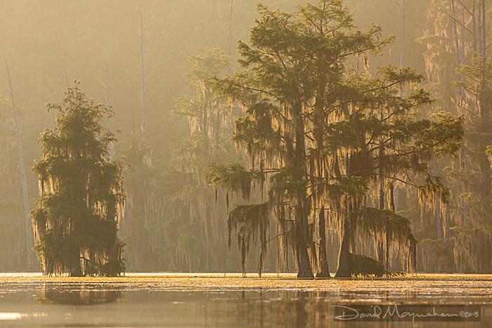 Misty Cypress Dawn