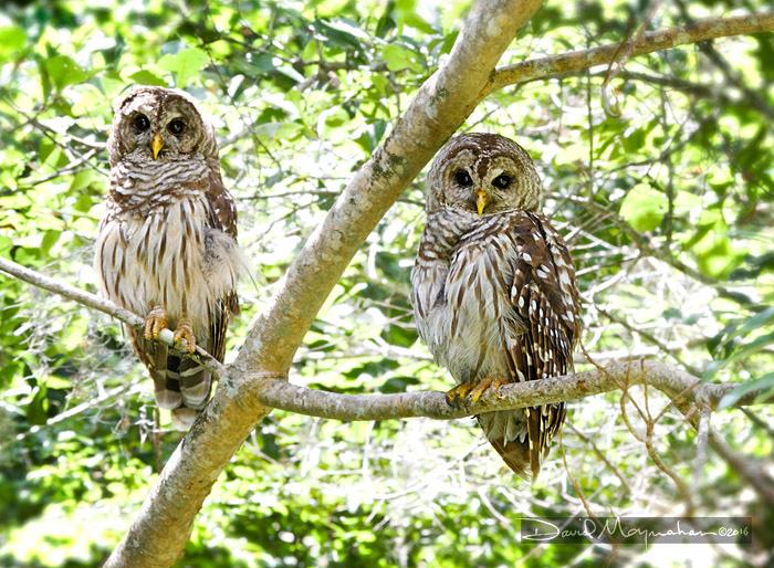 Barred_Owl_Pair