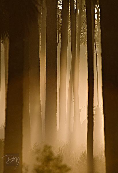Pines in Mist