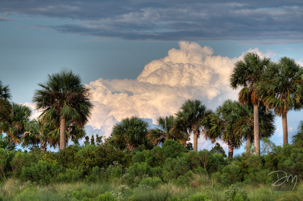 Clouded Palms