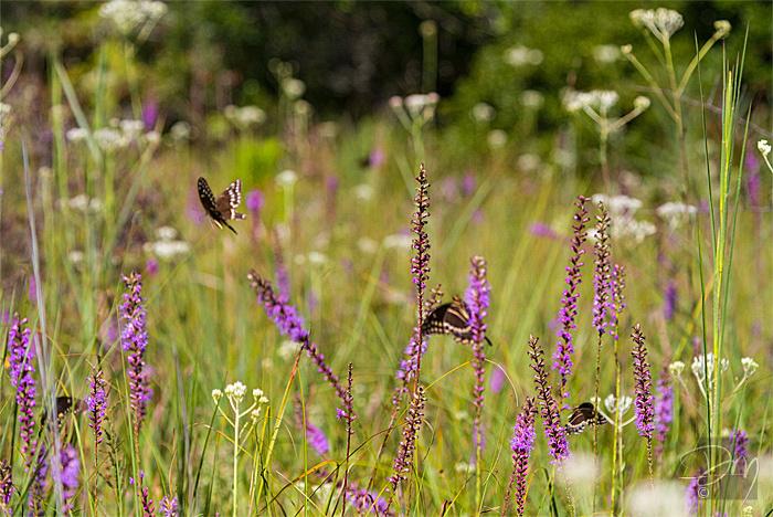 Wildflowers&Swallowtails