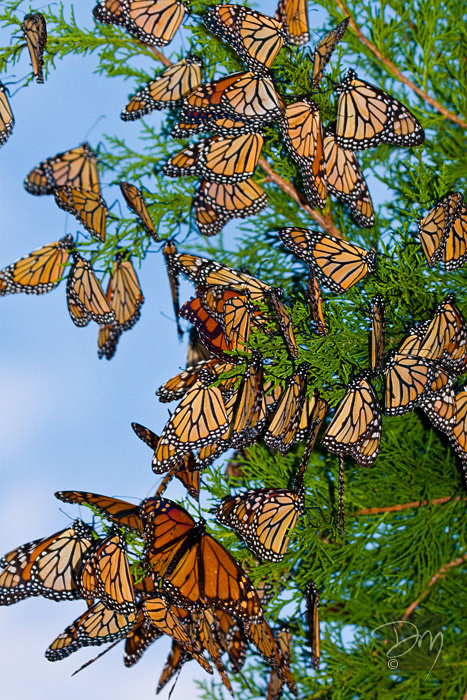 Monarchs_on_Cedar