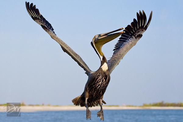 Happy Pelican