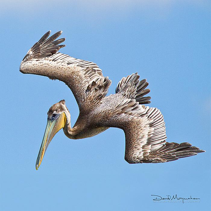 Pelican_Dive