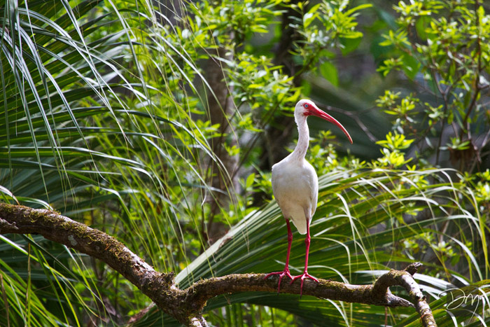 White Ibis Perch