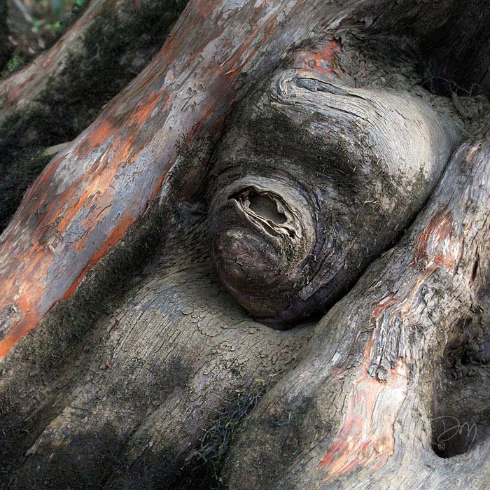 Cypress Ape