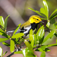 Black-throated Green Warbler 3