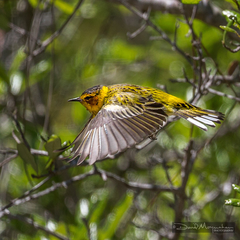 Cape May Warbler Flight