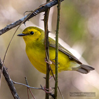 Hooded Warbler Immature