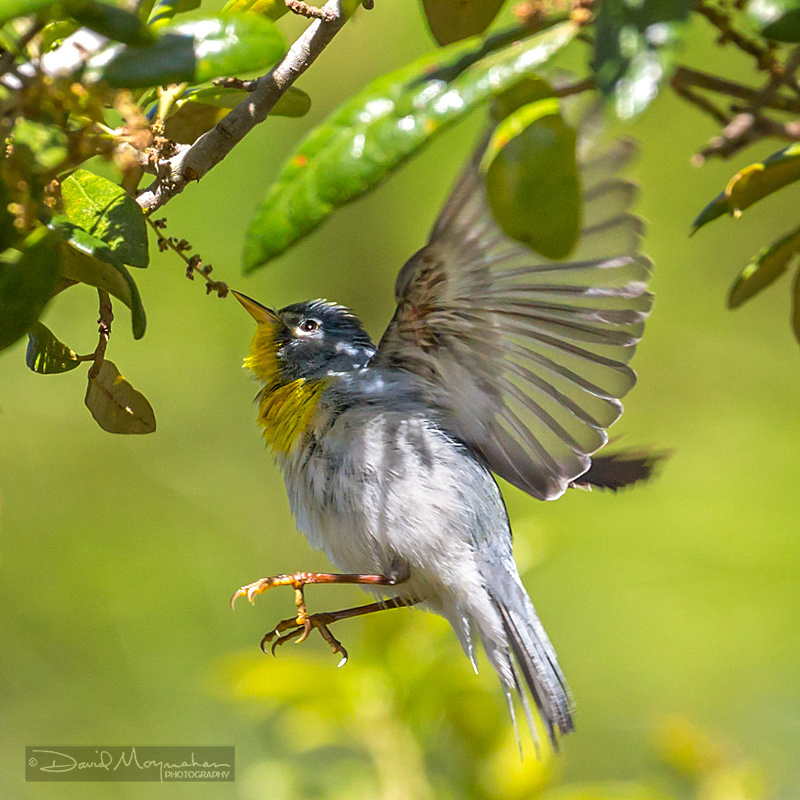 Parula Flight