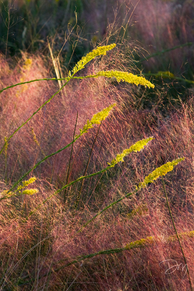 Goldenrod in Muhley Grass
