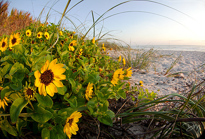 Beach Sunflowers
