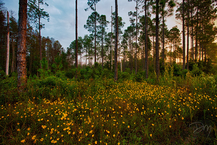 Black-eyed Susans in the Flatwoods