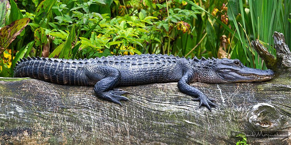 Gator Log