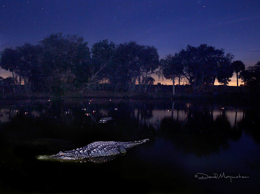 Night of the Gator