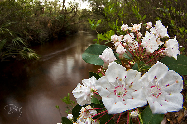 Florida Mountain Laurel