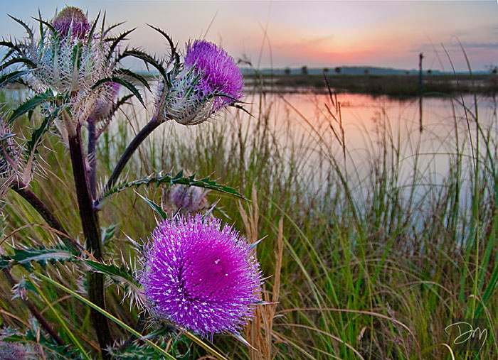Thistle Sunrise