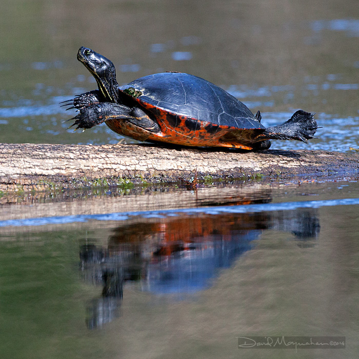 Male_Cooter_Sunning