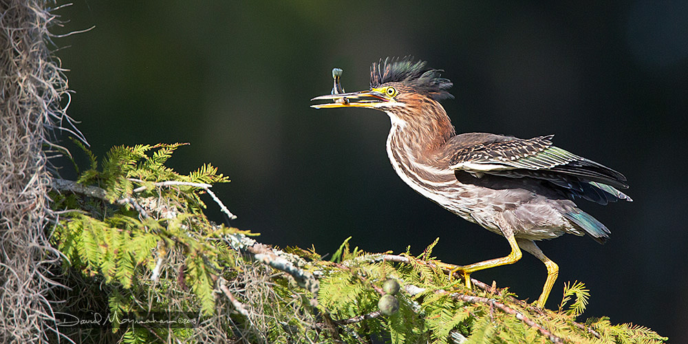 Green Heron Breakfast