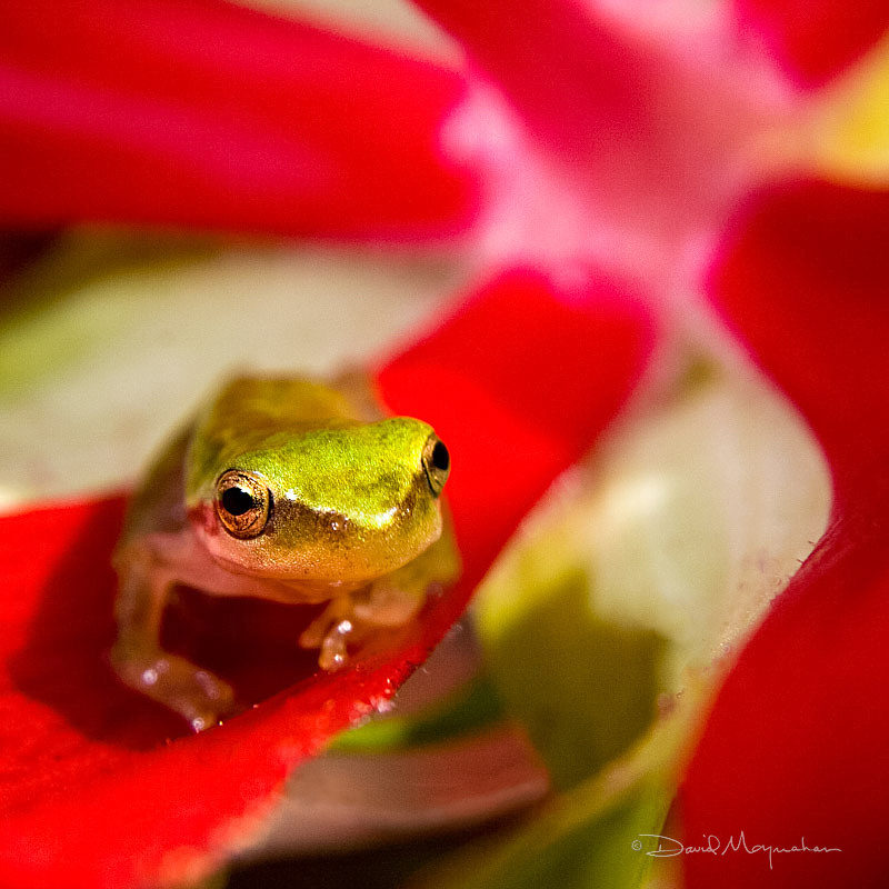 Mallow Frog 2