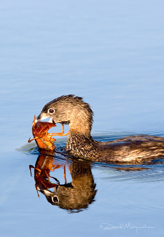 Pied-billed Grebe & Crayfish v