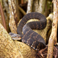 Banded Watersnake
