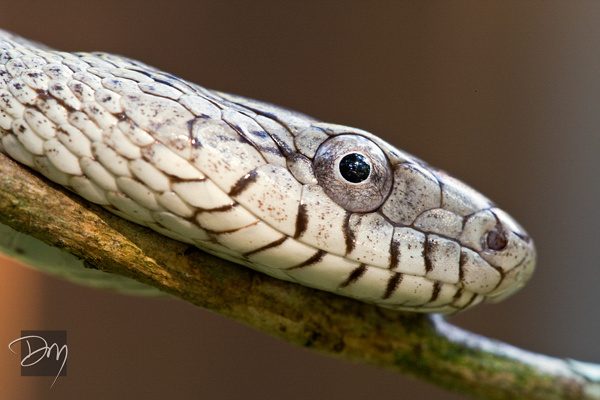 Oak Snake Portrait