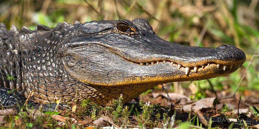 Gator Portrait