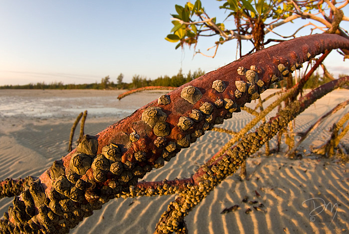 Barnacles on Red Mangrove Stilt