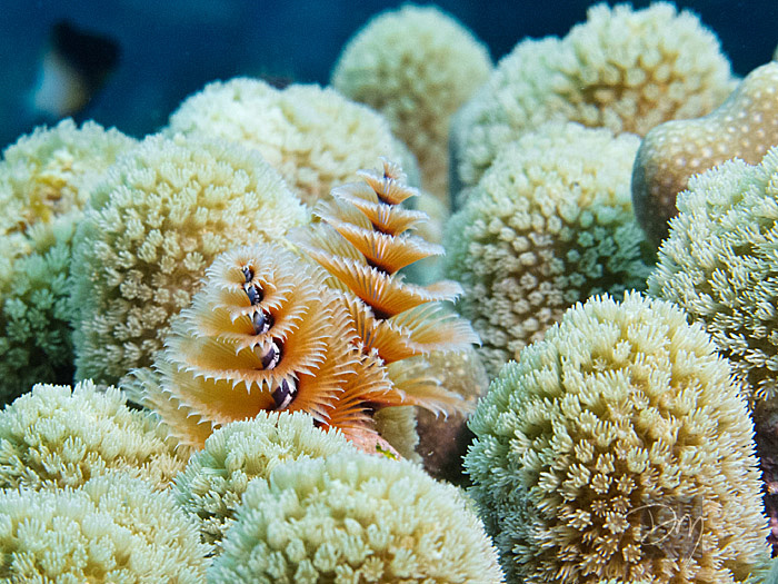 Christmas Tree Worms 2