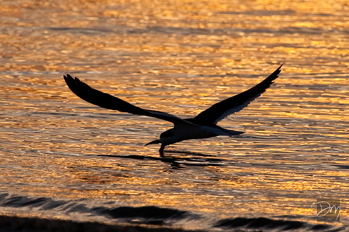 Black Skimmer Sunrise