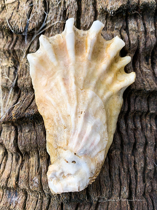 Oyster Shell 6