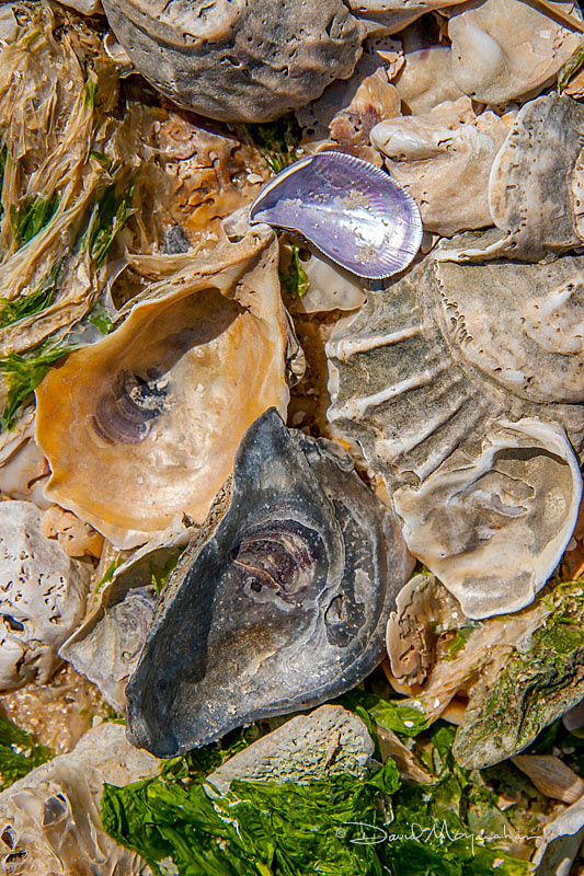 Oyster Shell Comp 1