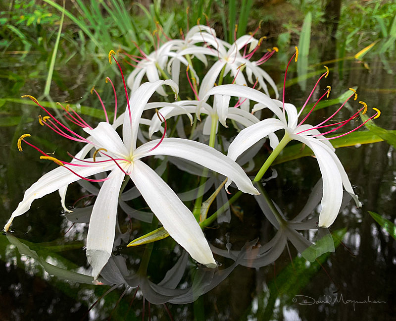 Spider Lillies Afloat