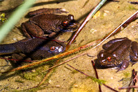 River Swamp Frogs