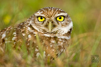 Burrowing Owl Eyes