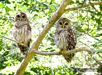 Barred_Owl_Pair