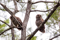 Pair_Barred_Owls