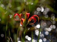 Speculared_Pine_Lily