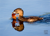 Pied-billed Grebe & Crayfish