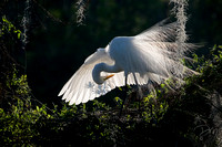 Great_Egret_Bow