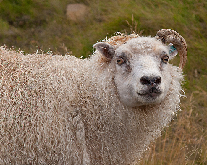 Icelandic Sheep Portrait