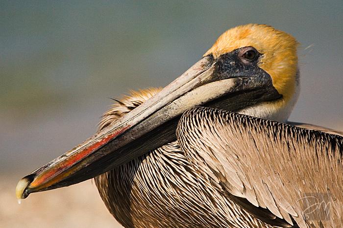 Pelican Portrait 2