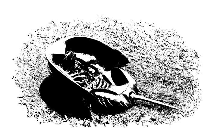 Oil Blot Horseshoe Crab