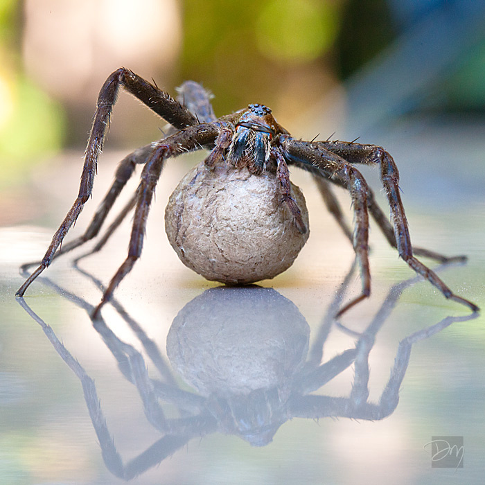 Fishing Spider and reflection