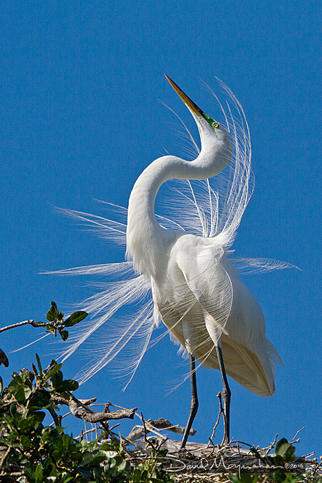 Great_Egret_9686