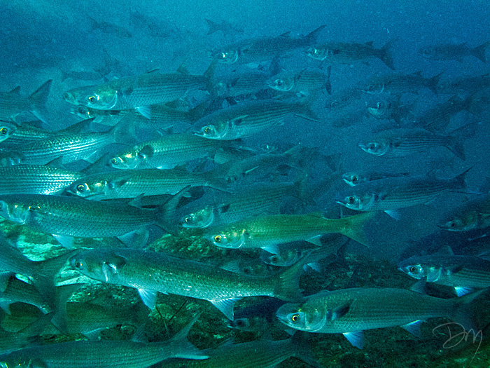David moynahan photography underwater school of mullet for Mullet fish florida