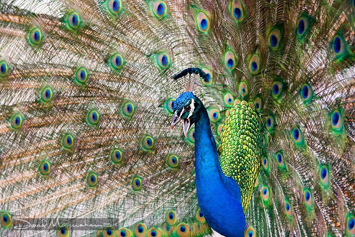 Peacock_6199